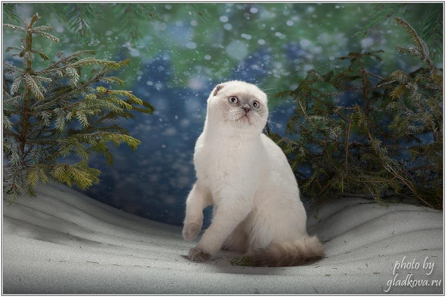 Фото шотландской вислоухой кошки ALISSIA BRIO ZAFFIRO<br> из Московского питомника Brio Zaffiro.