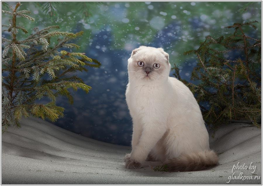 Фото шотландской вислоухой кошки ALISSIA из Москвы