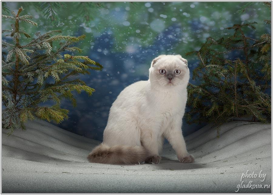 Фото шотландской вислоухой кошки из Московского питомника