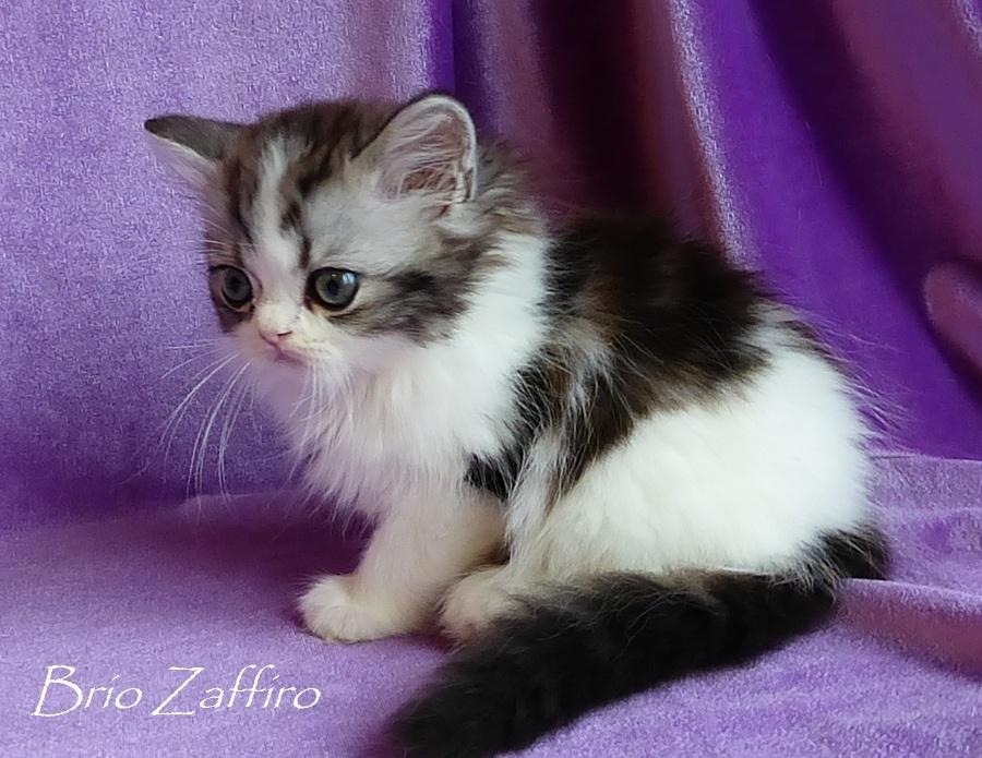 Котик красавчик шотландский полудлинношерстный - хайленд страйт - Bartolomeo_Brio_Zaffiro из питомника шотландских кошек город Москва. Хайленд биколор ns2203. Купить шотландца. Купить шотландского котенка. Купить красивого котенка.
