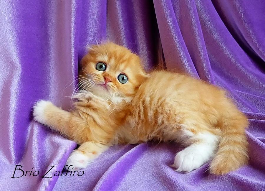 Котенок шотландский вислоухий Beauty Flame Brio Zaffiro красный хайленд фолд с белым из Московского питомника шотландских кошек колорпойнт, купить шотланда котенка