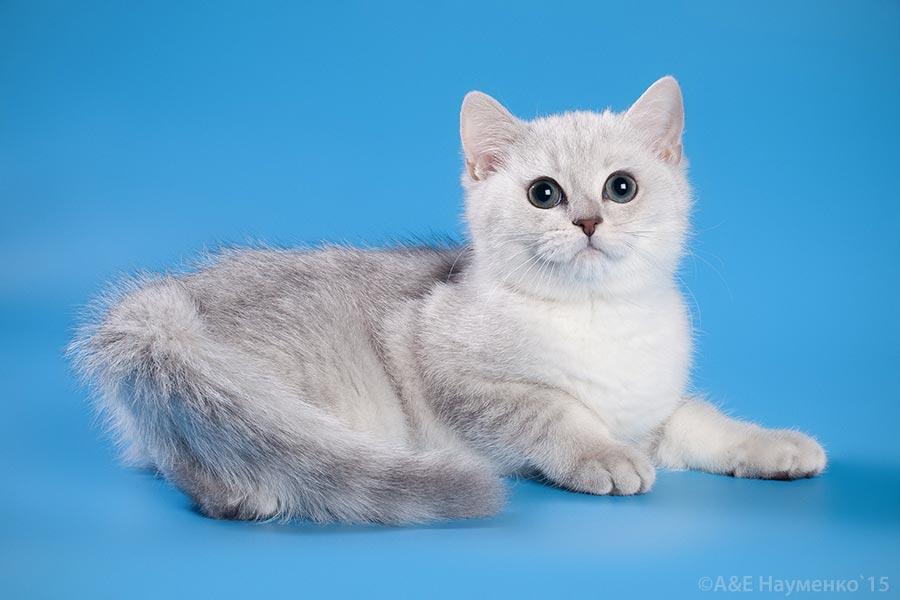 Фотографии котенка британской шиншиллы