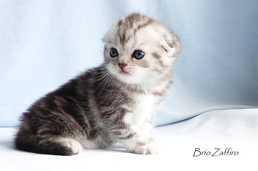 Фотогалерея шотландский вислоухой короткошерстной кошки-милашки Betty - мраморной черепахи на серебре SFS fs22 из питомника шотландских кошек BRIO ZAFFIRO г.Москва