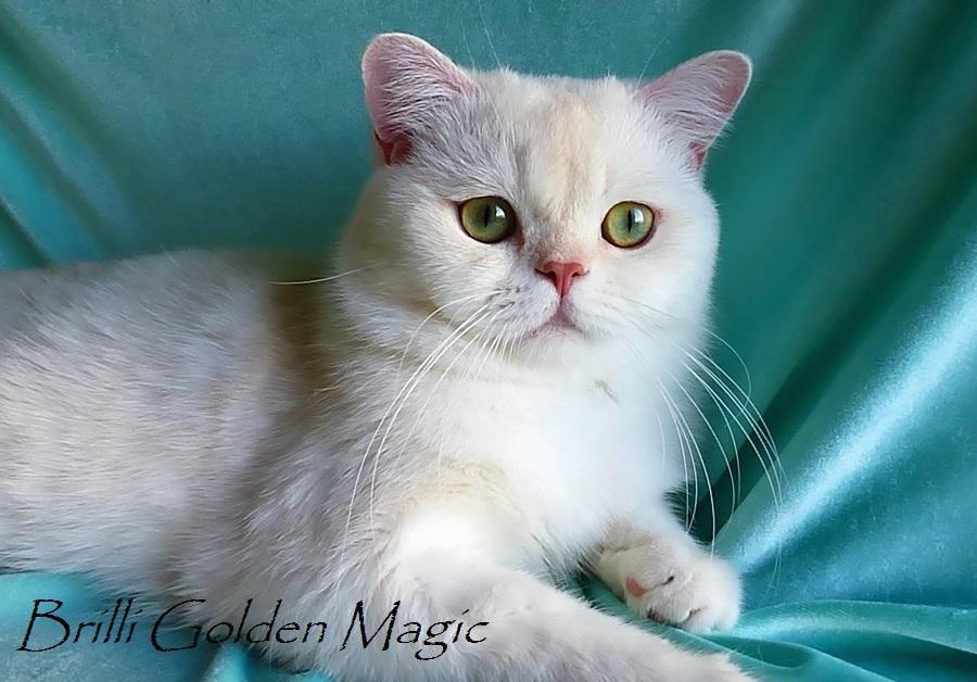 Фото британского кота камео (красного серебристого затушеванного) с зелеными глазами BRILLI GOLDEN MAGIC из питомника британских шиншилл BRIO ZAFFIRO город Москва
