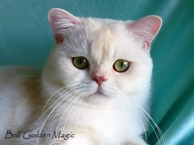 Кот британской шиншиллы камео (красный серебристый затушеванный) с зелеными глазами BRILLI GOLDEN MAGIC