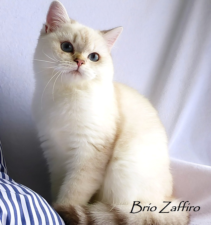 Фото Ximmee Brio Zaffiro golden british chinchilla point кошки шиншиллы пойнт затушеванной ns1133 из Московского питомника британских шиншилл BRIO ZAFFIRO