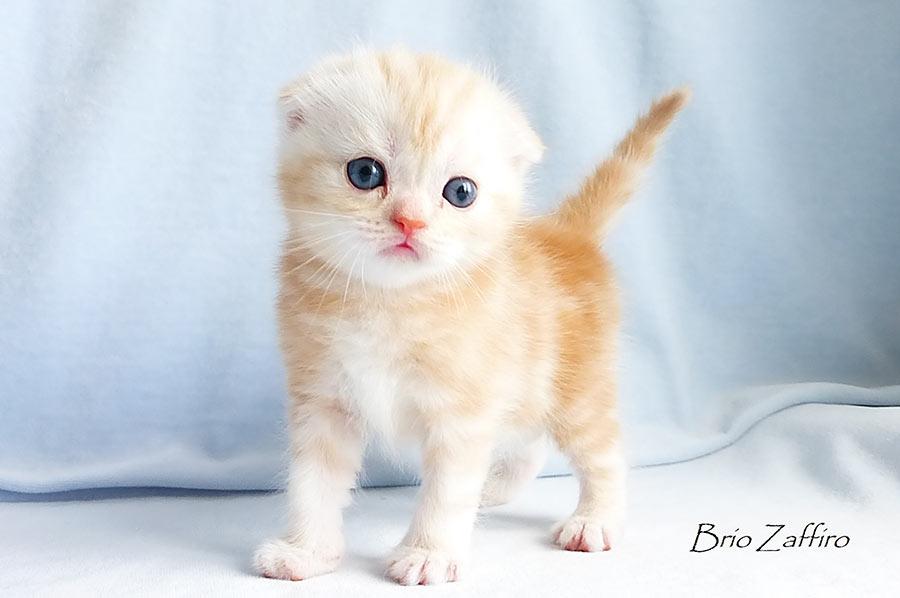 шотландский вислоухий котик красный мраморный на серебре SFS ds22 Byron Brio Zaffiro. Питомник шотландских кошек Brio Zaffiro, город Москва