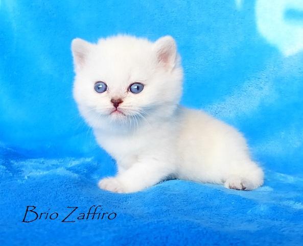 Котенок британской шиншиллы, которого можно купить в питомнике британских кошек Москва