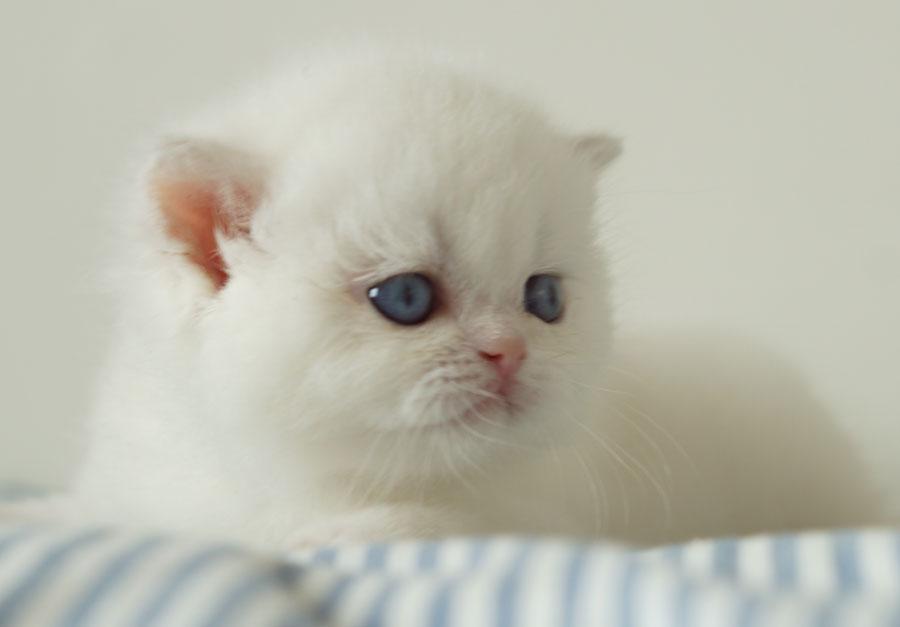 Фото кошки британской шиншиллы ESCADA POINT NADEZHDA  из Московского питомника Brio Zaffiro.