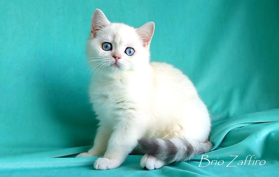 Faro Brio Zaffiro - котенок золотая шиншилла с голубыми глазами. Золотая шиншилла пойнт из питомника бри танских шиншилл. Купить золотую шиншиллу котенка. Купить золотого британца из питомника кошек в Москве. Золотой британец с голубыми глазами. Золотой котенок. Драгоценный котенок золотой затушеванный колорпойнт. Купить драгоценного британца. Хочу котенка шиншиллу. Хочу золотого котенка с голубыми глазами.