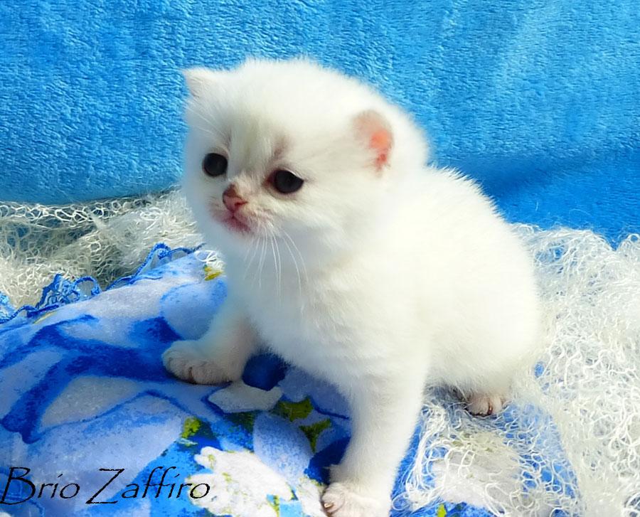 Фото кошки британской шиншиллы Gabriele Brio Zaffiro  из Московского питомника британских шиншилл.