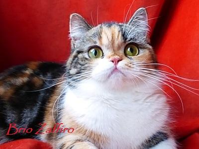 шотландская короткошерстная кошка из Московского питомника шотландских вислоухих кошек GENTLY FAIRYTALE BRIO ZAFFIRO