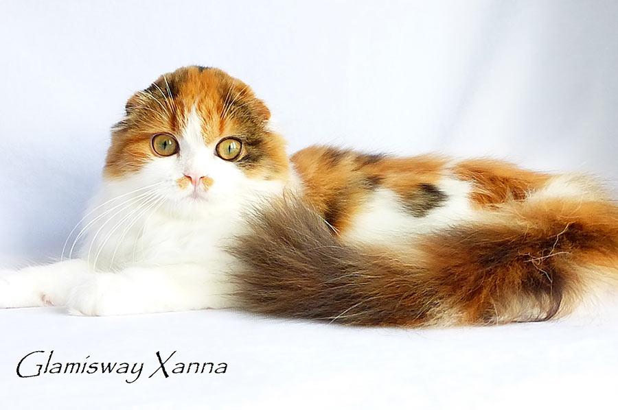 Фото кошки черепахи биколор хайленд фолд шотландской длинношерстной вислоухой   Glamisway Xanna из питомника шотландских кошек Brio Zaffiro г. Москва