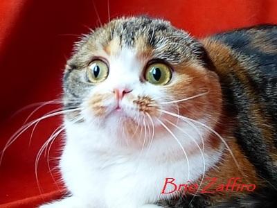 шотландская вислоухая кошка из Московского питомника шотландскихвислоухих кошек GREAT NESTING DOLL BRIO ZAFFIRO