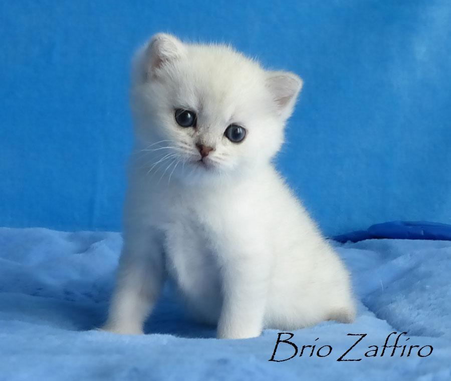 Фото котенка британской шиншиллы Hannika Brio Zaffiro из Москвы.