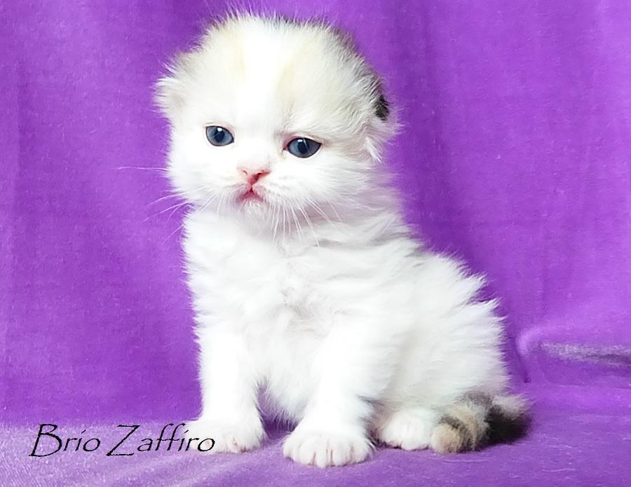 Купить вислоухого шотландского котенка в Мосвкве в питомнике кошек. Haumea Brio Zaffiro  - highland fold tortie bicolor. Кошка шотландская вислоухая (хайленд фолд) рисованная черепаха арлекин на серебре  из питомника шотландских кошек BRIO ZAFFIRO город Москв