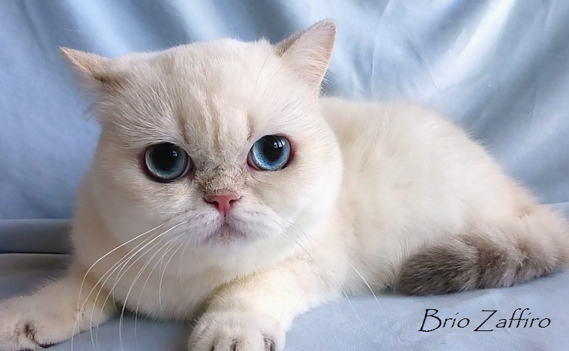 Hefania Brio Zaffiro BRI kitten ay21 33 котенок британской шиншиллы пойнт - british chinchilla point - с голубыми глазами из питомника британских шиншилл BRIO ZAFFIRO в Москве купить котенка британского шиншилла пойнт москва поинт колорпойнт линкс-пойнт голубоглазого питомник британских кошек шиншилл