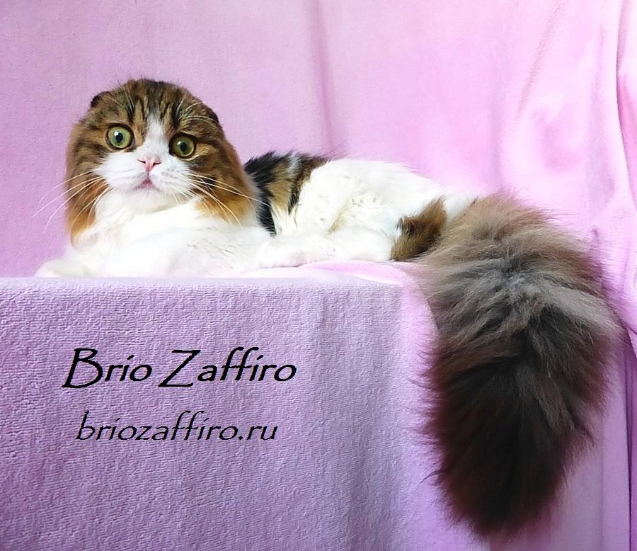 Шотландский вислоухий длинношерстный кот - хайленд фолд. Черный мраморный биколор. Питомник BRIO ZAFFIRO, город Москва