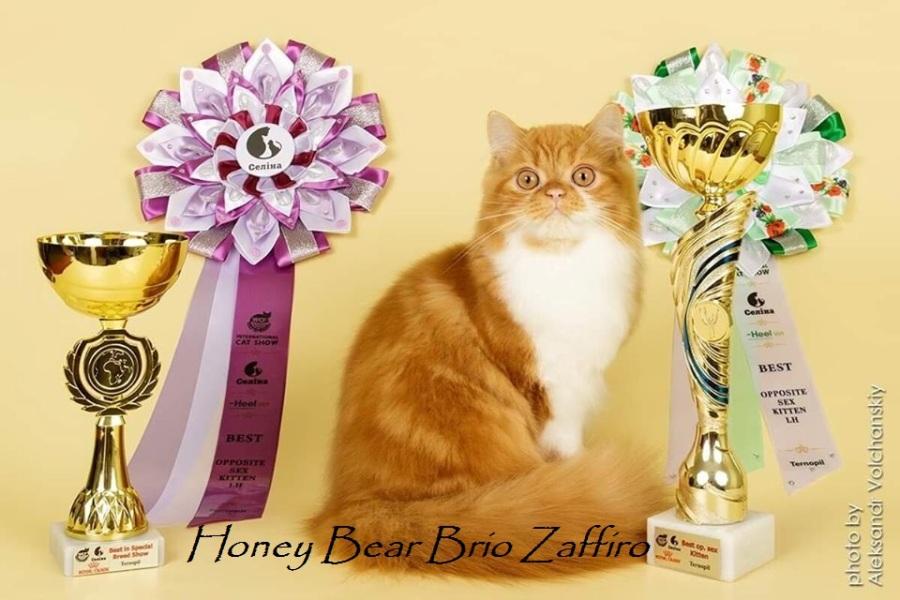 Honey Bear Brio Zaffiro котенок шотландский длинношерстный - хайленд страйт - красный мраморный биколор. Шотландские котята в Москве. Питомник шотландских кошек Москва. Купить красивого котенка в Москве. Купить шотландца биколора. Рыжий котенок.