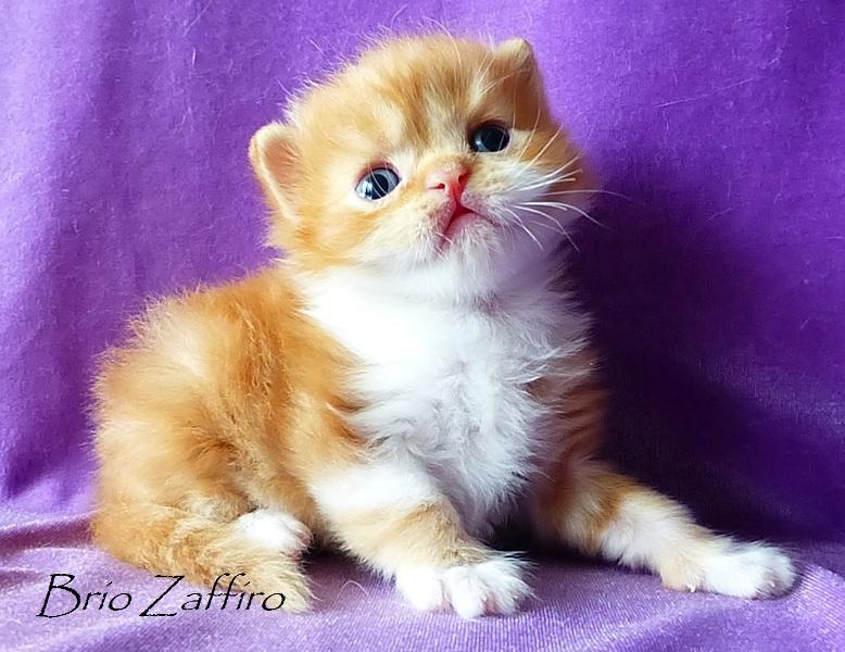 Honey Bear Brio Zaffiro котенок шотландский длинношерстный - хайленд страйт - красный мраморный биколор. Шотландские котята в Москве. Питомник шотландских кошек. Купить шотландца биколора. Веселый рыжий котенок.