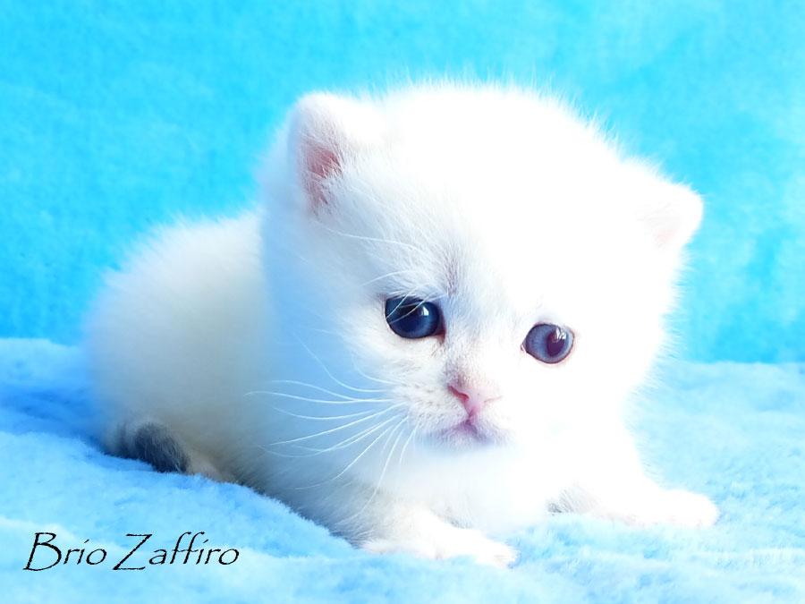 ... продажа британских шиншилл, купить котёнка, британские котята шиншиллы, котёнок британской шиншиллы британцы,серебристый затушёванный,Шотландский ...Фото британской шиншиллы Iderico Brio Zaffiro . Московский питомник британских шиншилл.