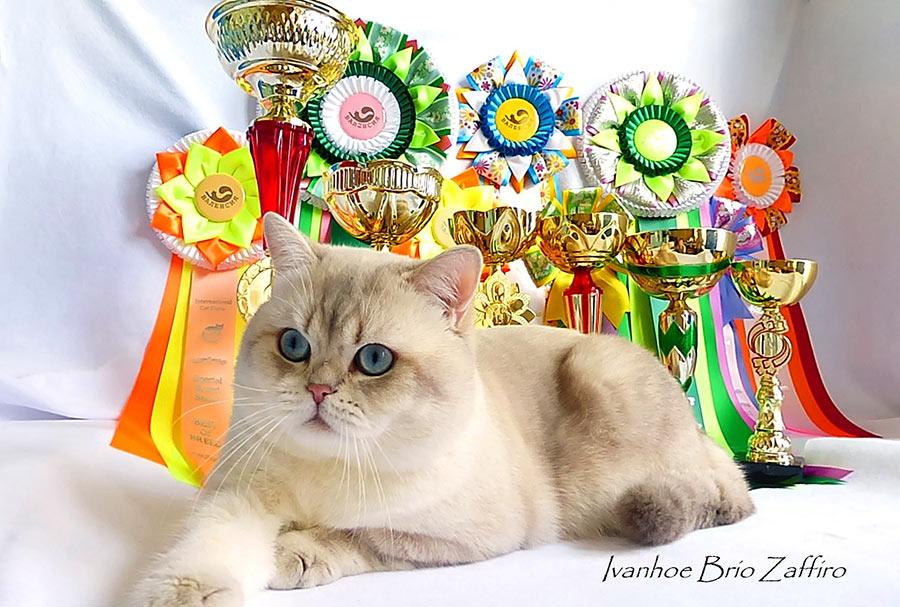 купить котенка шиншиллу в москве Фотографии Ivanhoe Brio Zaffiro.Британская шиншилла. Москва.