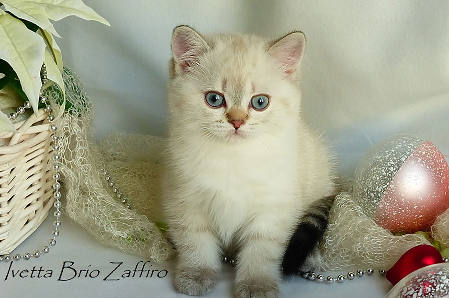 Фото котенка британской шиншиллы Ivetta Brio Zaffiro.Москва.