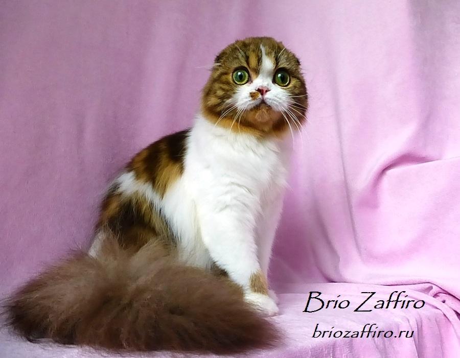 Фото шотландской вислоухой кошки Jadore Brio Zaffiro шоколадной биколорной хайленд фолд.