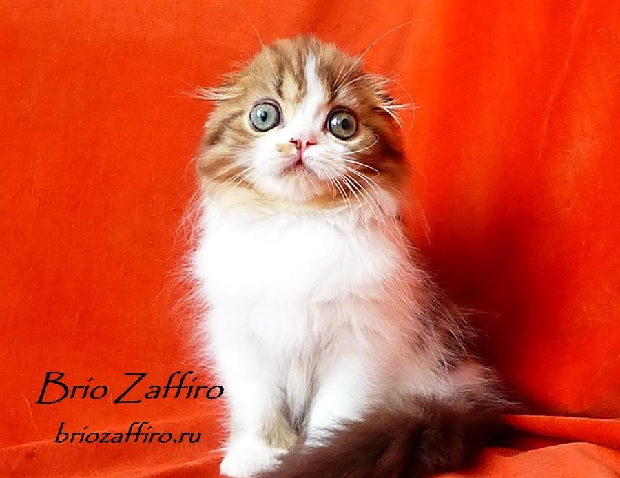 Фотогалерея кошки Jadore Brio Zaffiro шоколадной биколорной хайленд фолд. Красивейший шотландский глазастый котенок. Высокопородный котенок хайленд фолд. Шотландский шоколадный котенок.