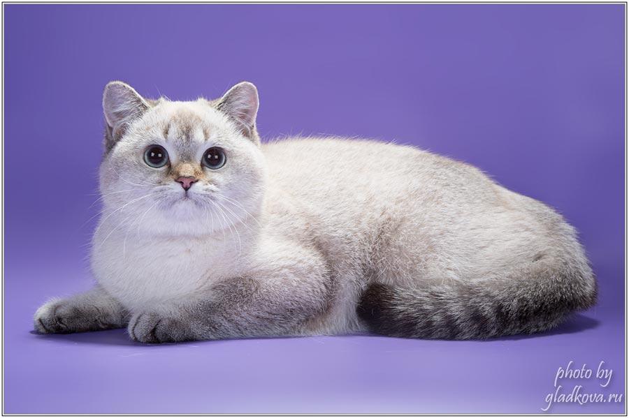 Фото кошки британской шиншиллы JASMIN