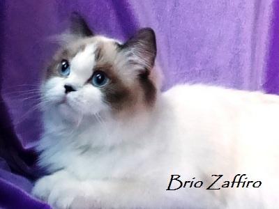 шотландская кошка колор пойнт из Московского питомника шотландских вислоухих кошек KIMA CRYSTAL KAY