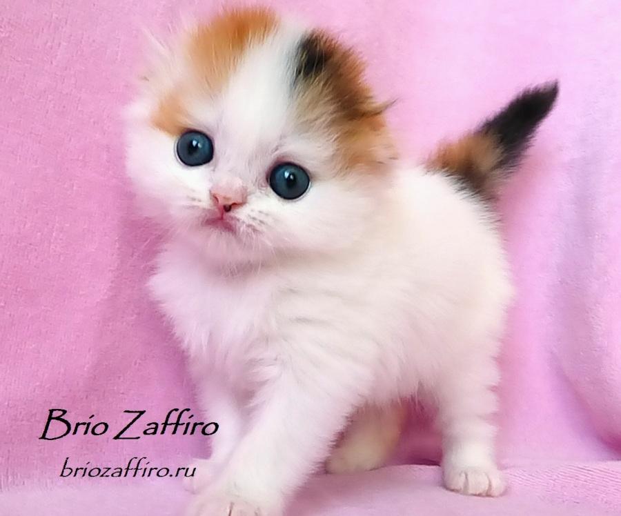 Купить красивого шотландского вислоухого котенка Москва. Красивая кошечка хайленд фолд черепаха арлекин на серебре Klarisa Brio Zaffiro