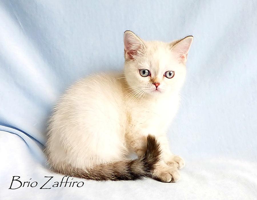 Фотографии британского котенка Konstanze из питомника шотландских кошек Brio Zaffiro из Москвы.