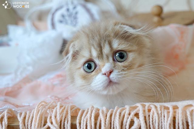 Фото кошки котенка LISSYONOK WOOKIEE GOROSHEK  - cinnamon spotted bicolour highland fold (o2403) - циннамоновой пятнистой с белым хайленд фолд из Московского питомника шотландских кошек BRIO ZAFFIRO