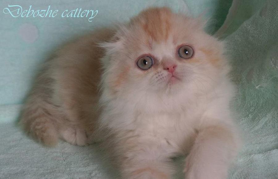 Фото шотландской кошки хайленд фолд La Reine Victoria Debozhe киз Московского питомника