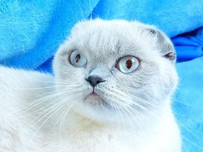 ФОТО LEOLA of BRIO ZAFFIRO Московский питомник кошек