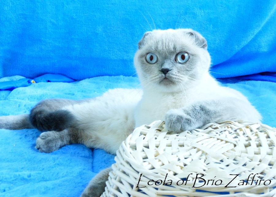 Фото шотландской вислоухой кошки LEOLA BRIO ZAFFIRO из Московского питомника кошек Brio Zaffiro