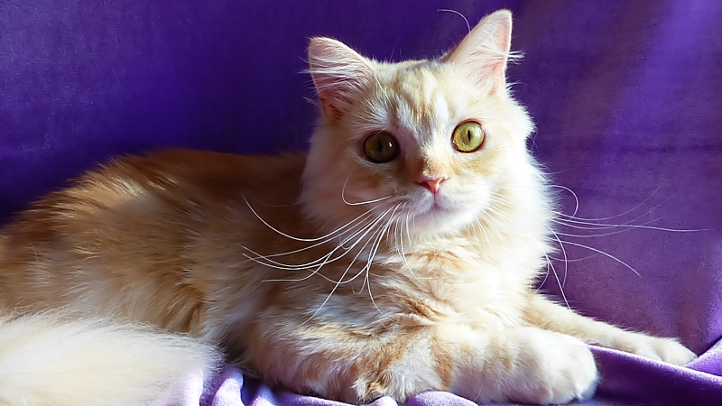 Leopold Sunny Brio Zaffiro - котенок шотландский хайленд страйт. Купить шотландского котенка в Москве в питомнике шотландских вислоухих кошек