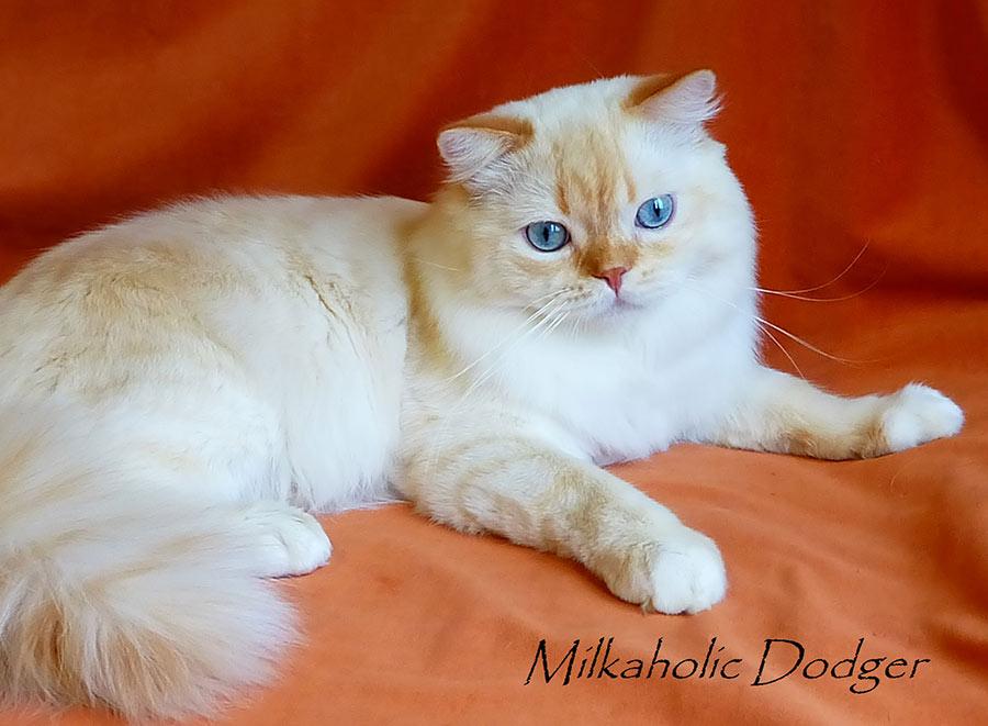 Фото кота MILKAHOLIC DODGER Хайленд страйта Шотландская длинношерстная, закрытого производителя Московского питомника кошек