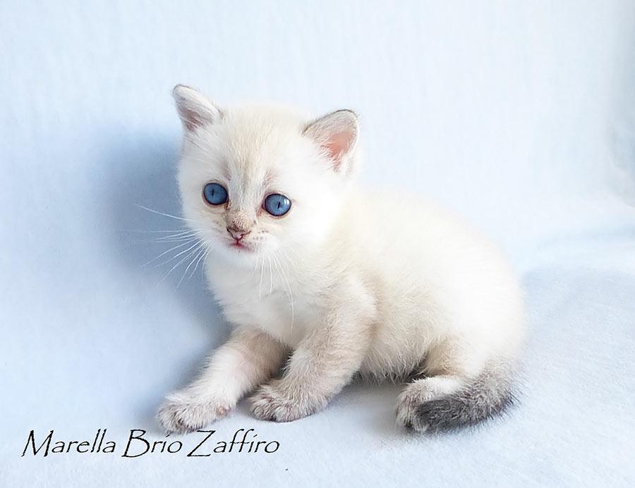 Фото кошки британской  золотистой шиншиллы пойнт Marella Brio Zaffiro из питомника британских шиншилл  г. Москва
