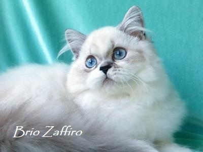 шотландская длинношерстная колор пойнт кошка из Московского питомника шотландских вислоухих кошек MARISHKA BRIO ZAFFIRO