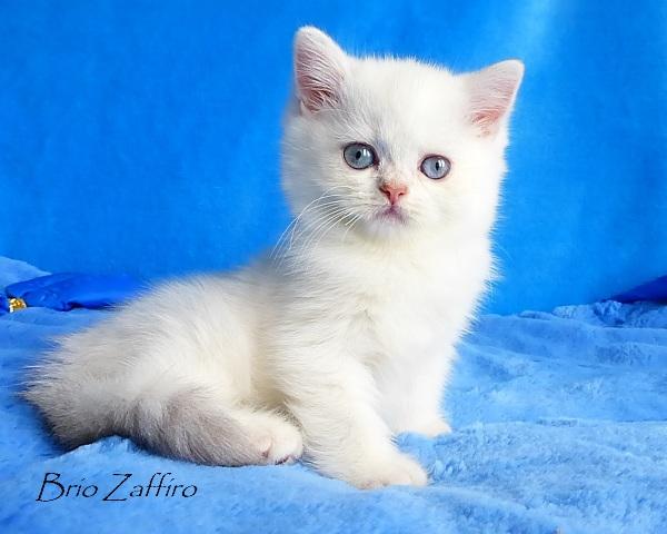 Marshall Brio Zaffiro british chinchilla  golden point Moscow kitten forsale купить британского котенка золотая шиншилла пойнт в москве питомник кошек