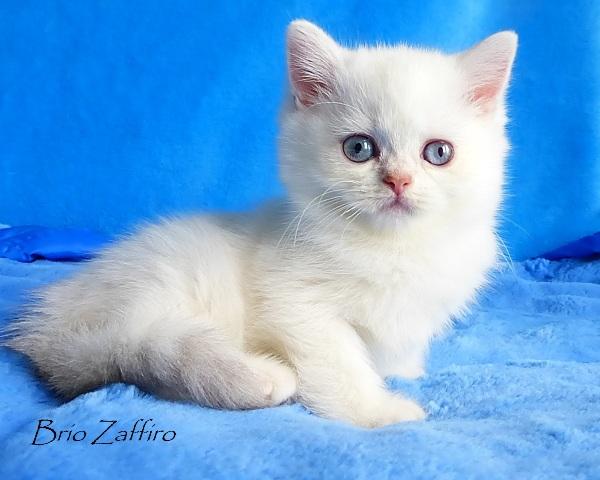 Marshall Brio Zaffiro british chinchilla point golden Moscow kitten forsale купить британского котенка золотая шиншилла пойнт вмоскве питомник кошек