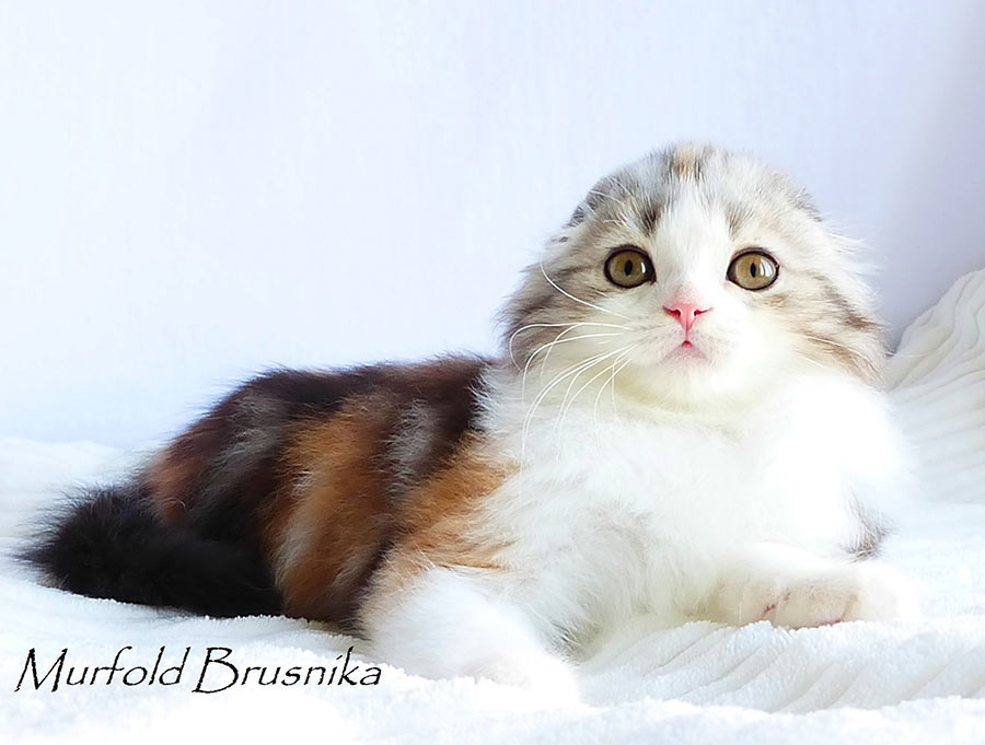 Фото шотландской серебристой табби черепахи биколора кошки Murfold Brusnika хайленд фолд ( длинношерстной вислоухой ), производителя питомника шотландских кошек Brio Zaffiro из Москвы