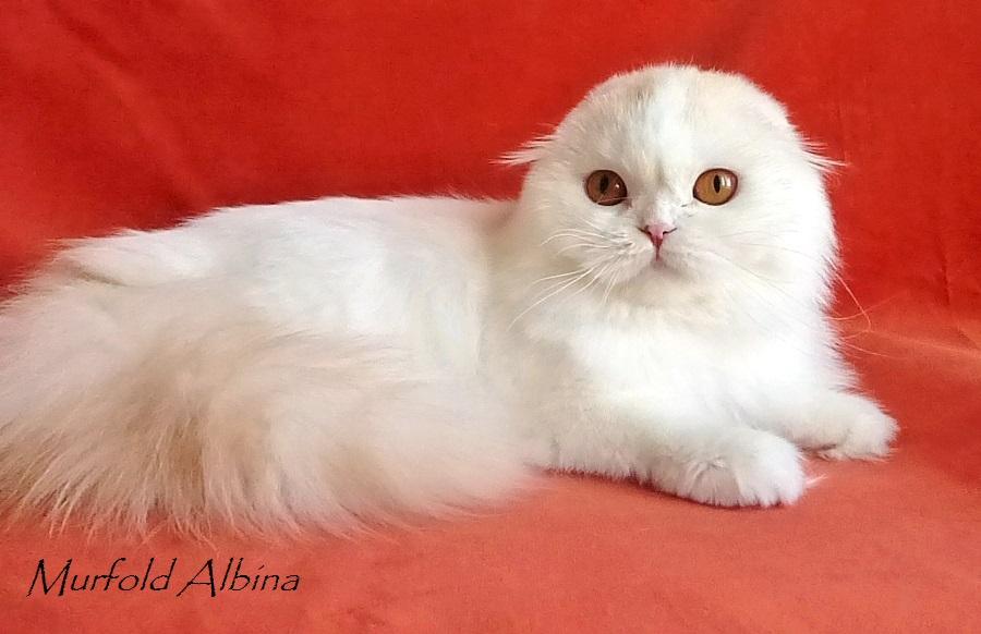 Murfold Albina highland fold harlequin Фото шотландской кошки хайленд фолд Brio Zaffiro в окрасе красный арлекин на серебре купить котенка хайленда в Москве в питомнике кошек