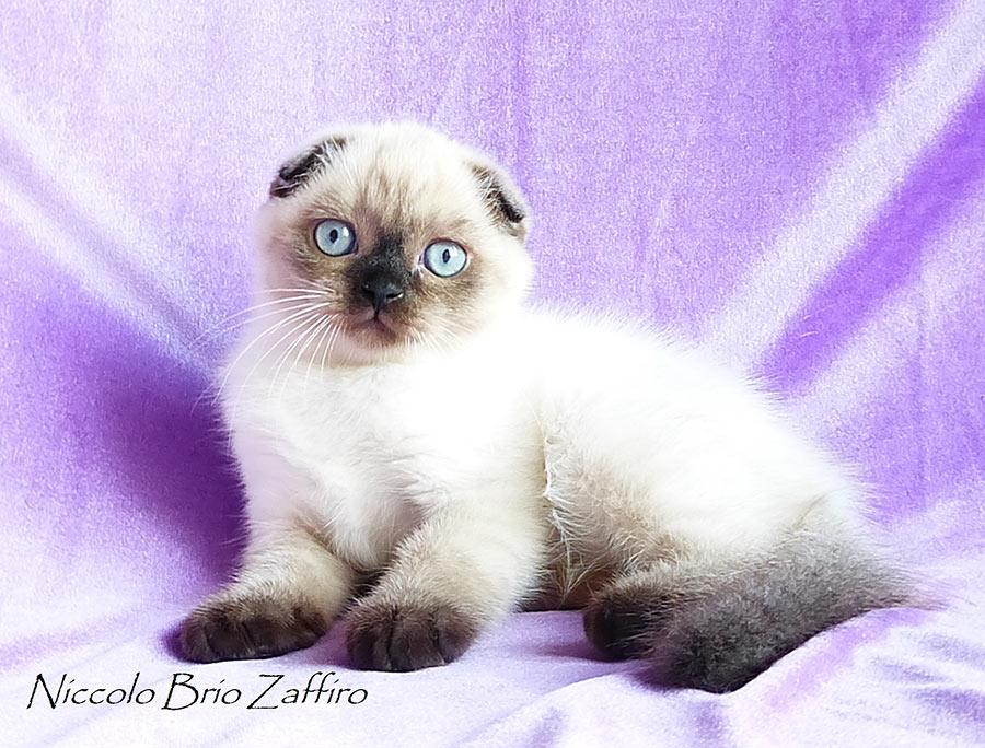 Фотографии колорного шотландского вислоухого котенка сил пойнт Niccolo из Московского питомника шотландских кошек BRIO ZAFFIRO