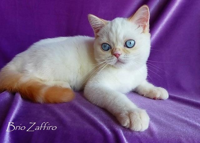 В нашем питомнике шотландских кошек BRIO ZAFFIRO вы сможете выбрать и купить голубоглазого котенка колор пойнт, либо красного рисованного хайленда котенка, а также шотландских котят в других вариациях колор пойнт