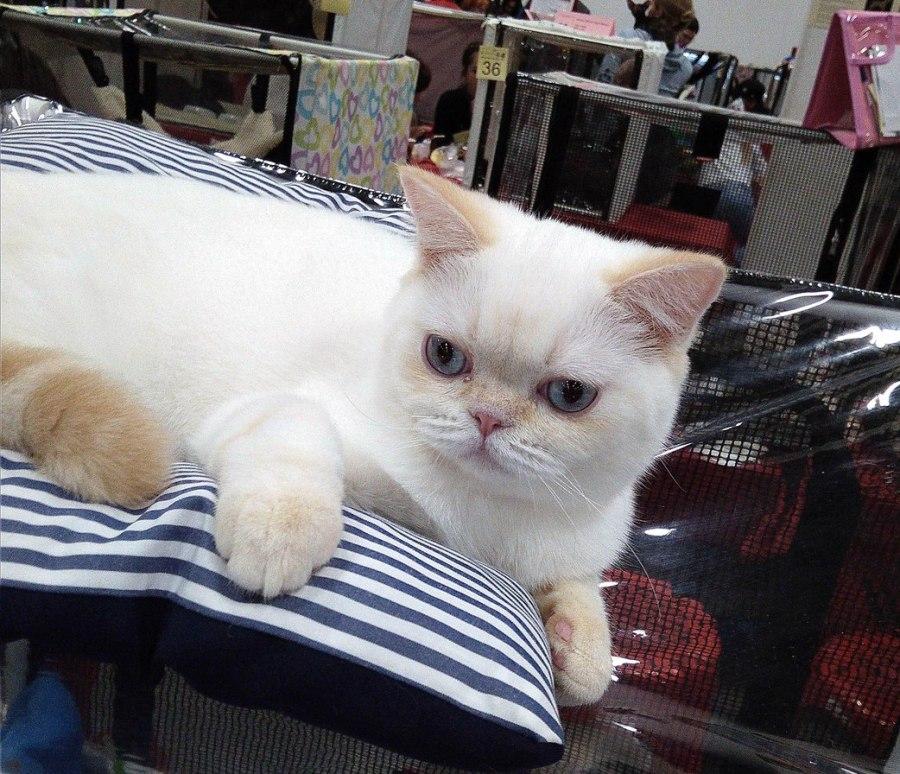 В нашем питомнике шотландских кошек BRIO ZAFFIRO вы сможете выбрать и купить голубоглазого котенка колор пойнт, ред пойнт, а также шотландских котят в других вариациях колор пойнт