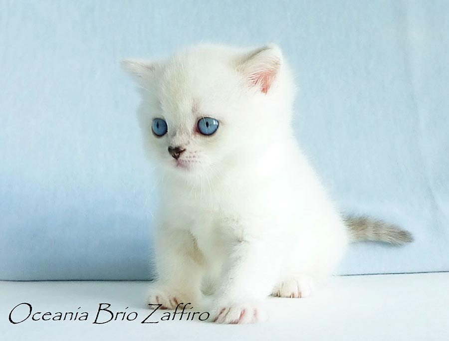 Фото кошки британской серебристой шиншиллы пойнт Oceania из питомника британских шиншилл BRIO ZAFFIRO город Москва