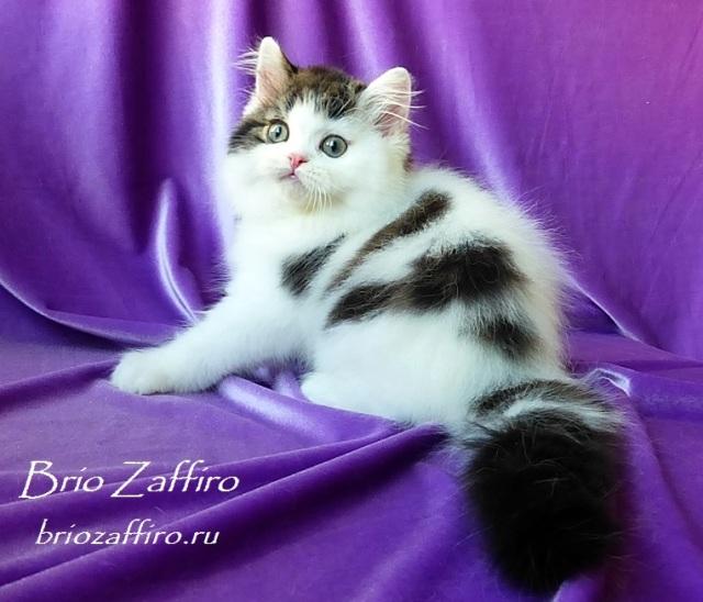 Котенок шотландский длинношерстный - хайленд страйт - Octavian Brio Zaffiro